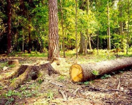 Приговор за незаконную рубку Башкирского леса